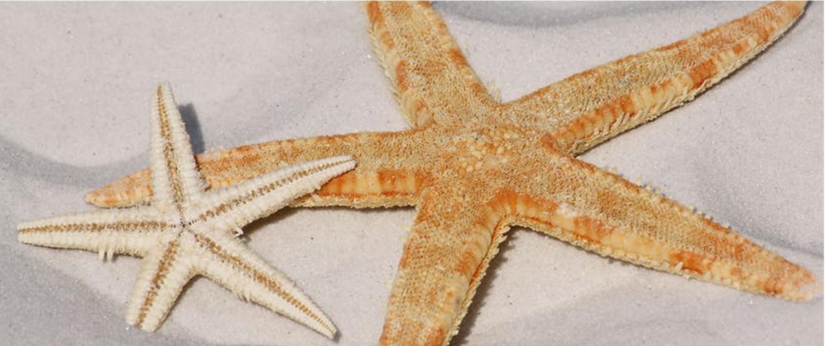 orange and white sea stars